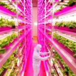 Japão usa luz LED para cultivar verduras 2,5 vezes mais rápido no meio da cidade