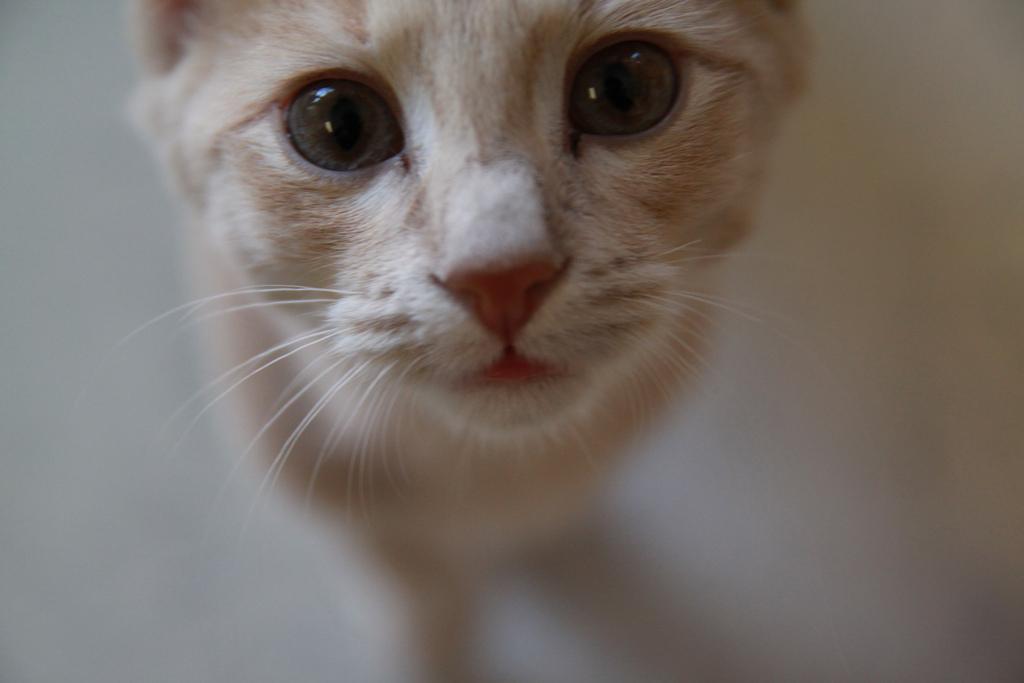Governo australiano sacrifica 2 milhões de gatos para equilibrar fauna