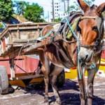 Curitiba proíbe carroças puxadas por animais