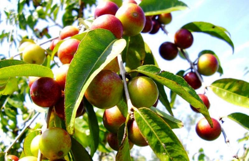 A fruta que tem 100 vezes mais vitamina C do que o limão (e pode desenvolver a Amazônia)