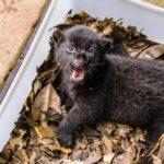 Contra extinção da espécie, PR promove reprodução inédita de onças-pintadas