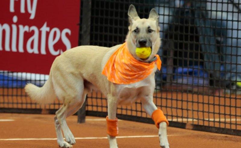 No torneio Brasil Open de Tênis, os gandulas são cães (que esperam por adoção)