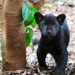 Concurso vai escolher nome da 1ª onça-pintada reproduzida em cativeiro no PR para evitar extinção da espécie