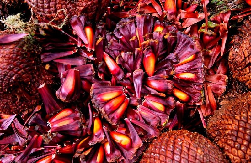 Consumir pinhão (cultivado de forma sustentável) pode salvar araucárias do risco de extinção