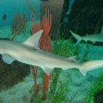 Conheça a primeira espécie de tubarão vegetariano de que se tem notícias no mundo