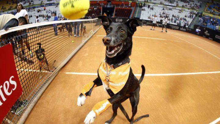 No torneio de tênis Brasil Open 2018, os gandulas são cães (que esperam por adoção). Veja vídeo!