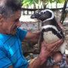 O pinguim que viaja 3 mil km todos os anos para visitar o homem que salvou sua vida
