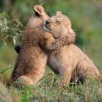 75% dos carnívoros correm perigo de extinção