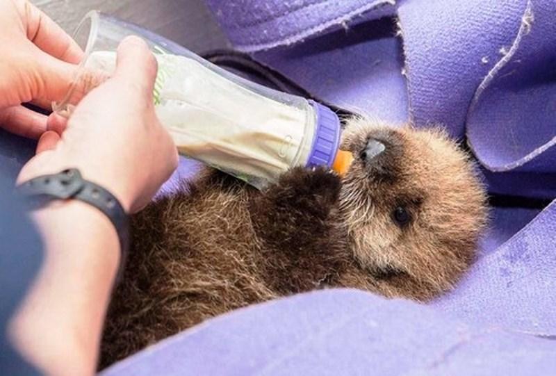 Lontra-marinha órfã é resgatada nos EUA. Veja fotos!
