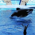 Até que enfim! No SeaWorld da Califórnia, shows acrobáticos com orcas foram abolidos