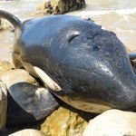 Orca é encontrada morta com o estômago cheio de lixo