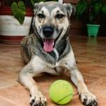 No torneio Brasil Open de Tênis, os gandulas são cães (que podem ser adotados pelo público)