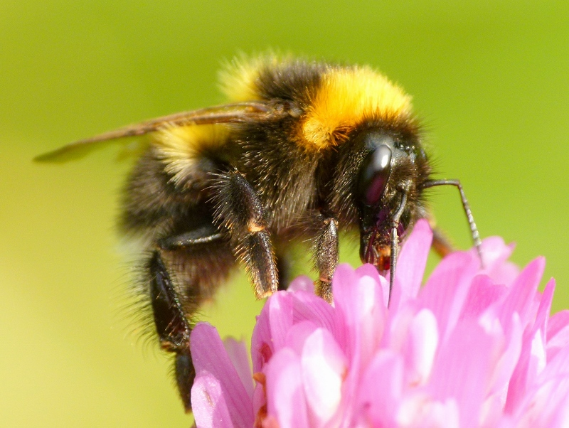 Pesquisadores identificam 57 diferentes tipos de agrotóxico nas abelhas – culpa da agricultura!