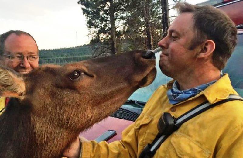 """Bombeiros ganham """"obrigado"""" especial de alce após apagarem fogo da floresta em que vive"""