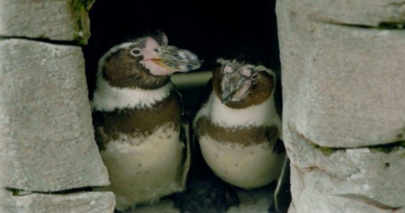 Junto há 10 anos, casal gay de pinguins adota filhote para criar