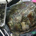 Tartaruga diagnosticada com tumor no estômago, na verdade, havia engolido 915 moedas atiradas na água para trazer sorte
