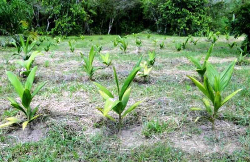 Cultivo de palmito pupunha ajuda a preservar a Mata Atlântica