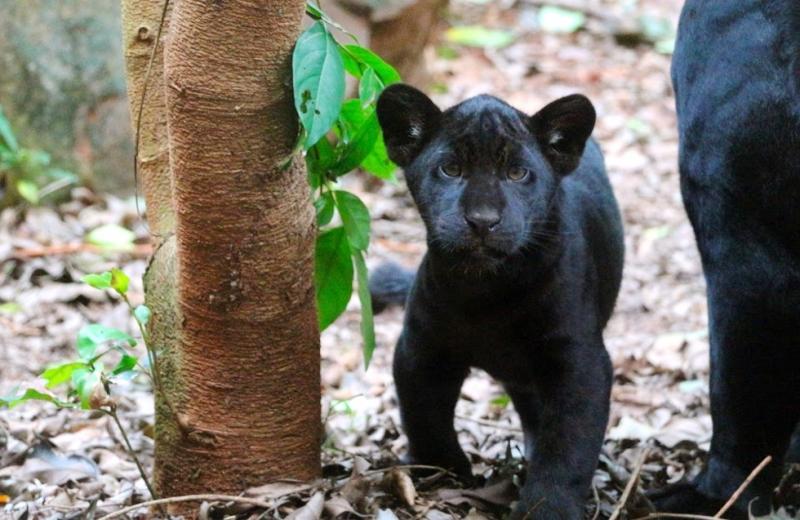 1ª onça-pintada reproduzida em cativeiro no PR para evitar extinção ganha nome escolhido pela população
