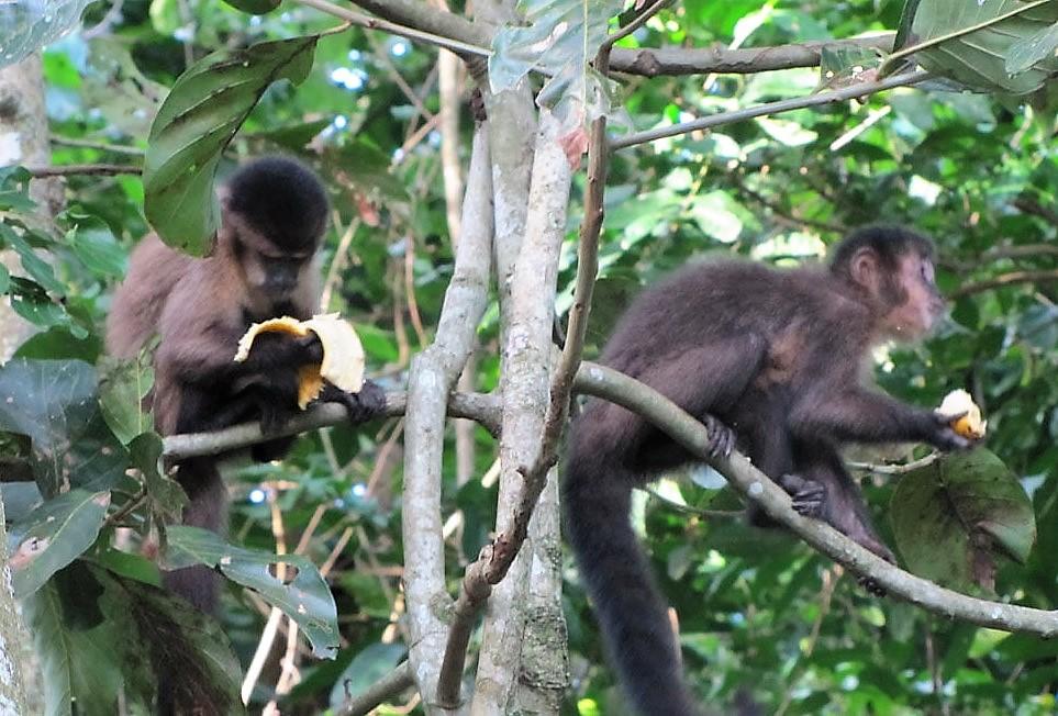 Febre amarela mata todos os macacos bugios do Horto Florestal de São Paulo