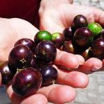 Estudo brasileiro descobre uso de casca de jabuticaba para combate a diabetes