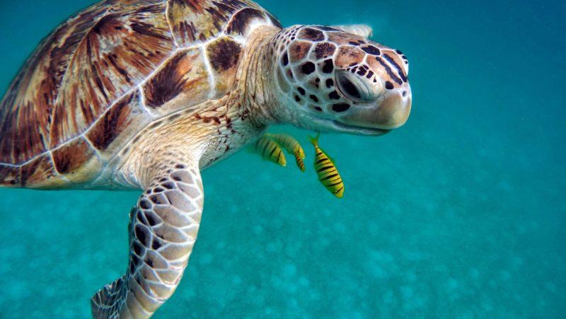 Cientistas encontram microplástico em 100% das tartarugas analisadas (de diferentes partes do mundo)!