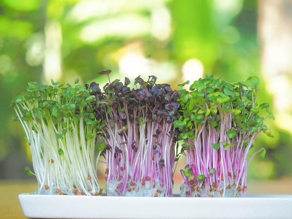 Nesta quarentena, aprenda a plantar microverdes de forma rápida e fácil