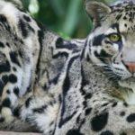 Cinco anos após ser declarada extinta, espécie rara de leopardo é vista em Taiwan