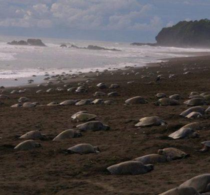 Sem turistas, tartarugas-olivas prosperam em praias indianas pela 1ª vez em anos
