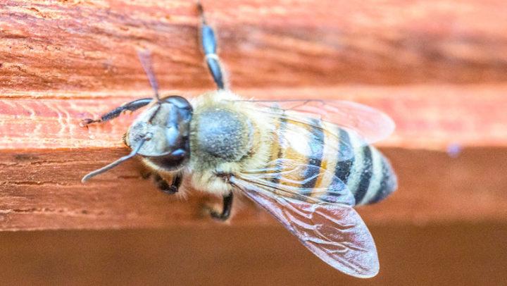 Conheça curso on-line gratuito de criação de abelhas sem ferrão