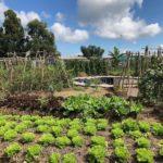 Campo de futebol vira horta orgânica para alimentar 1 mil famílias
