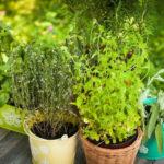 Como ter uma horta de temperos em casa? Aprenda a cuidar de 9 diferentes hortaliças!